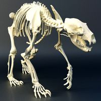 Bear the skeleton