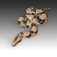 Boa Constrictor Rigged