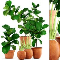 Plant collection Ficus trees